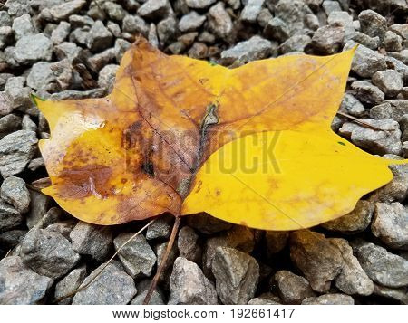 yellow leaf with water and many small grey pebbles or stones on the ground