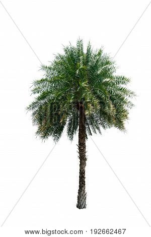 Palm Coconut tree white background isolate natural beautifu object