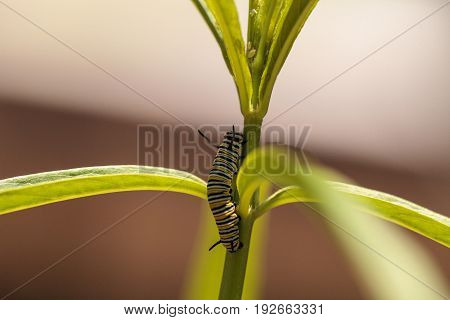 Monarch caterpillar Danaus plexippus in a butterfly garden on a flower in spring in Southern California USA