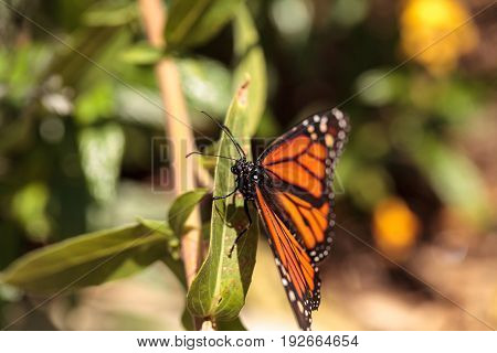 Monarch Butterfly, Danaus Plexippus, In A Butterfly Garden