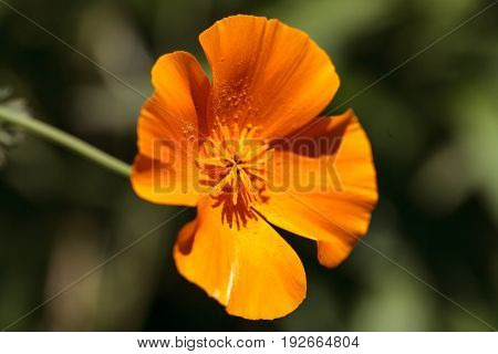 Bright orange poppy Papaver orientale grows in a botanical garden in Southern California in summer