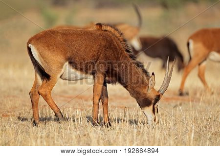 Female sable antelope (Hippotragus niger) grazing, South Africa