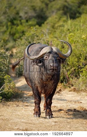 African buffalo (Syncerus caffer) in natural habitat, Addo National park, South Africa