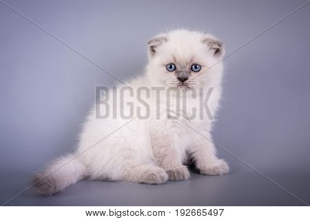Scottish Fold Small Cute Kitten Blue Colorpoint White