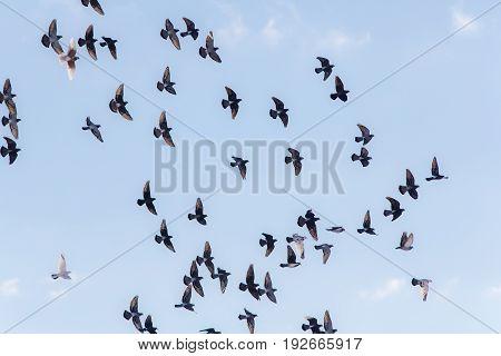 Flock of pigeons in flight against the sky