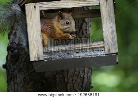 Squirrel sits and gnaws at the nuts. Close-up. The squirrel sits in a bird feeder on the background of a green forest. on a tree. Nature.