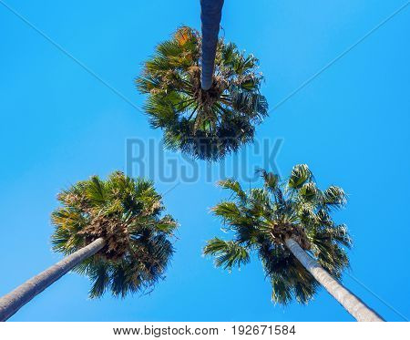 View of three palms from below on a sky background