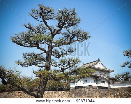 Cypress bonsai tree In the osaka castle park. Japan