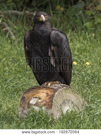 Golden Eagle dark brown plumage houses stable populations in Scotland Norway the Alps Italy and the Iberian Peninsula