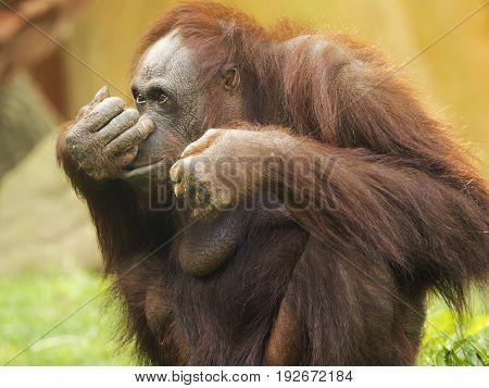 Orangutan lives in the low jungles of Sumatra and Borneo