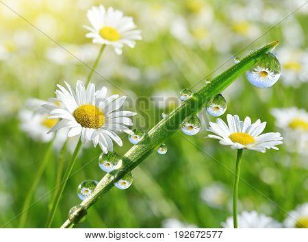 Dew drops on fresh green grass with daisies closeup. Spring season.
