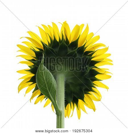 Detail of yellow sunflower isolated on white background