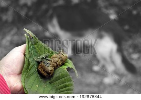 Male hand holding dog poo wrapped in green leaf walking dog in the blurred background. Filtered photo