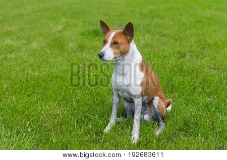 Dirty mature basenji dog resting on a fresh lawn after everyday run