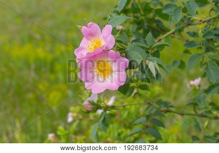 Branch of wild dog-rose in time of blossoming at early summer season
