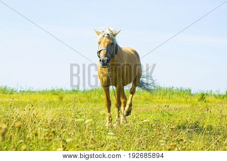 Horse in field. Light brown horse Palomino with white mane stands on meadow