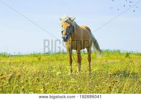 Horse in field. Light brown horse Palomino with white mane stands on meadow against blue sky