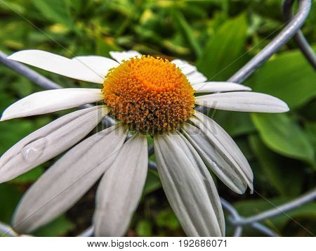 white daisy flower growing through a chain link fence