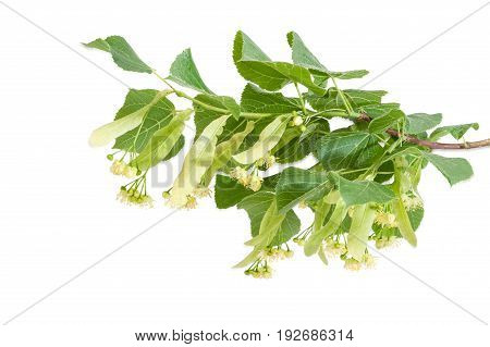 Branch of the flowering linden with leaves flowers and buds on a light background