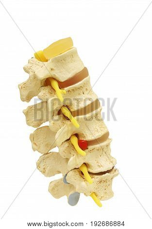 Side view of plastic study model backbone spinal nerve (spinal vertebrae orthopedic) isolated on white background clipping path.