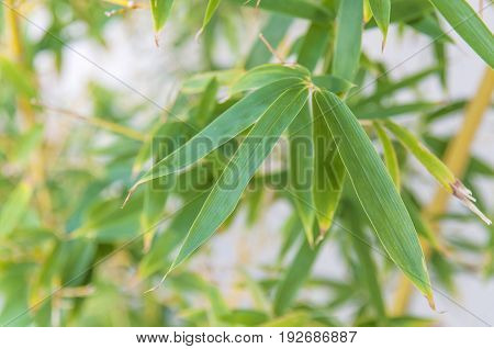 Bamboo leaf close with blurry background close