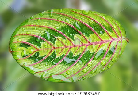 Close up of bright green leaf and big water drops isolated on green background