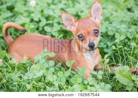 Russian Toy Terrier, Little dog playing in the grass last