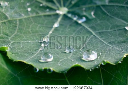 Round rain water droplets on green nasturtium leaf - macro close up with shallow depth of field