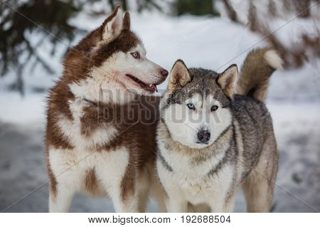 A pair of husky on a walk
