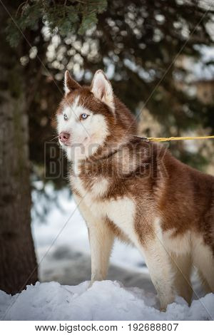 Dog breed husky in the winter Park