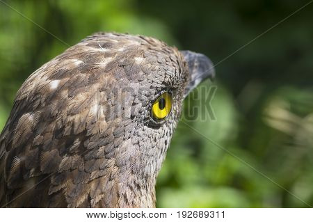 Close-up of Honey buzzard Pernis apivorus , bird from falcon group