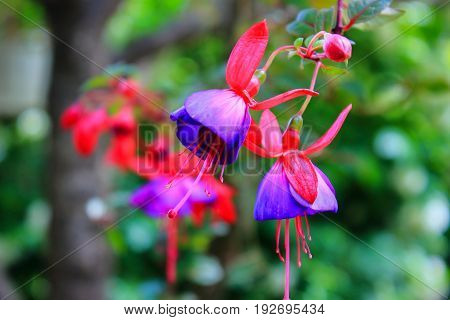 Fuchsia flowers bloom. Fuchsia garden. Flowers macro. The care of garden plants. Landscaping in the garden. Garden trees and shrubs