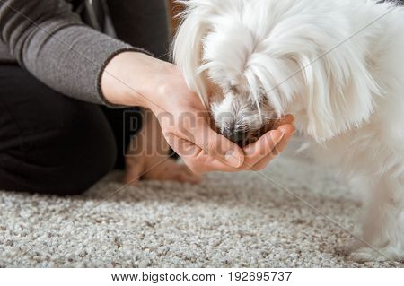 White Maltese dog is eating from hand
