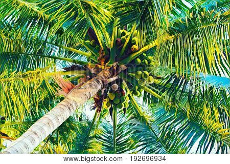 Palm tree crown with coconuts top view from ground. Coco palm leaf vivid digital illustration. Tropical vacation background. Coconut fruit on palm tree. Exotic island holiday travel banner or poster
