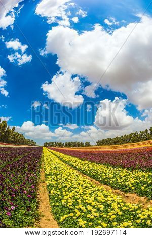 Farm field of great flowers. Garden buttercups bloom in bright colors. The concept of eco-tourism. Walk on a sunshiny day