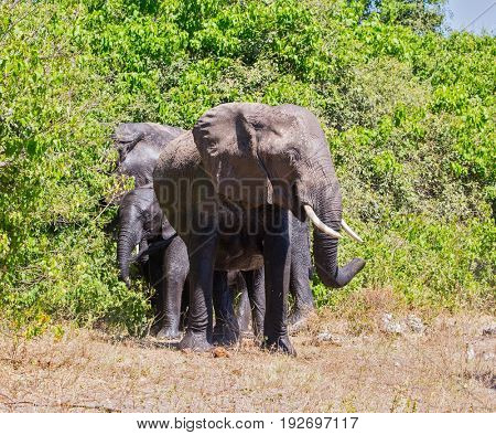 Family of African elephants at the watering in River Okavango. Botswana, Chobe National Park. The concept of exotic tourism
