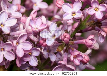 Blooming young lilac in the spring forest. Beautiful in nature.