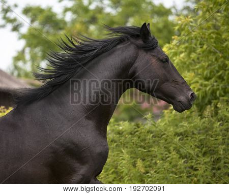Portrait of black horse on the green trees background
