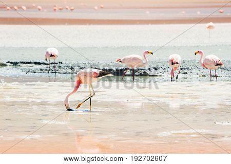 Pink flamingo in the lagoon plateau Altiplano Bolivia.
