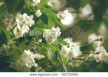 Bush of blossoming jasmine summer time selective soft focus retro style
