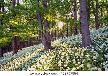 Geen forest with wild garlic at sunset Slovakia