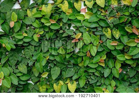 The Abstract Nature Background Copyspace Of  Green Creeper Plant On A White Wall.