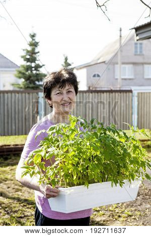 An elderly lovely smiling woman is holding a container with tomato sprouts for transplanting in the garden on a spring afternoon. Gardening