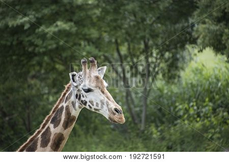 Cute young wild giraffe close up portrait. Sad giraffe. Africa wild life safari.
