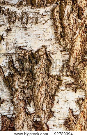 Closeup of birch tree bark texture in spring day