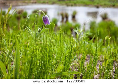Pasque flower near a pond in spring
