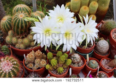White flowering echniopsis cactus in a greenhouse