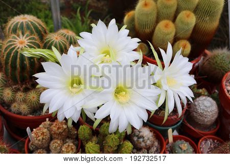 Echninopsis cactus with large white flowers in bloom