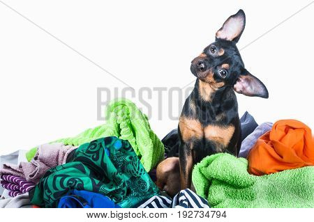 Dog mess. Dog puppy toy Terrier made a mess of the clothes. On a white background