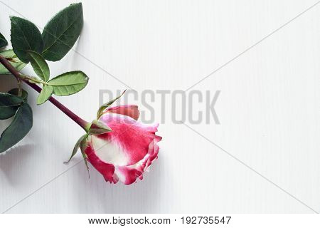 One pink rose on white wooden background with free space